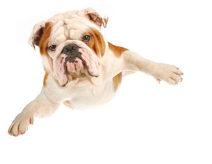 Flying bulldog