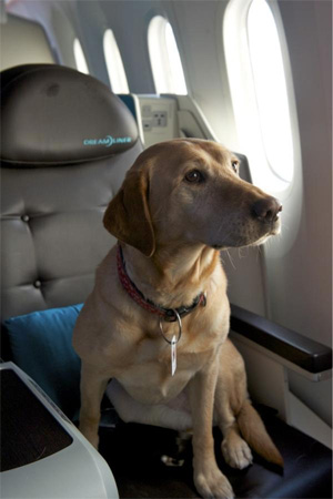 A Boeing security dog tests a business class seat aboard the 787 Dream Tour show plane during its visit to Wichita
